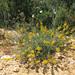 Adenocarpus complicatus - Photo (c) jacinta lluch valero,  זכויות יוצרים חלקיות (CC BY-SA)