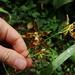 Oncidium cristatum - Photo (c) Holger Beck,  זכויות יוצרים חלקיות (CC BY-NC)