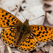 Pearl-bordered Fritillary - Photo (c) Paul Ritchie, some rights reserved (CC BY-NC-ND)