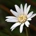 Chaptalia tomentosa - Photo (c) cotinis,  זכויות יוצרים חלקיות (CC BY-NC-SA)