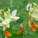 Lathyrus gmelinii - Photo (c) Alexey Zyryanov,  זכויות יוצרים חלקיות (CC BY-NC)