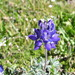 Lobb's Lupine - Photo (c) brewbooks, some rights reserved (CC BY-SA), uploaded by John Brew