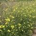Shortpod Mustard - Photo (c) briankeim, some rights reserved (CC BY-NC)