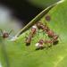 Oecophylla - Photo (c) Ria Tan, algunos derechos reservados (CC BY-NC-SA)