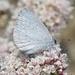 Mariposa Azul Mexicana - Photo (c) James Bailey, algunos derechos reservados (CC BY-NC)