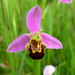 Bee Orchid - Photo (c) Matteo Paolo Tauriello, some rights reserved (CC BY-NC-SA)