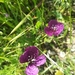 Violet Horned-Poppy - Photo (c) Seçkin Kanca, some rights reserved (CC BY-NC)