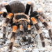 Mexican Orangeknee Tarantula - Photo (c) Alan Rockefeller, some rights reserved (CC BY)