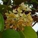 Phanera vahlii - Photo (c) antaryami, algunos derechos reservados (CC BY-NC)