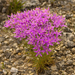 Mountain Pink - Photo (c) dbarronoss, some rights reserved (CC BY-NC-ND)