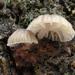 Mycena corticola - Photo (c) Amadej Trnkoczy, algunos derechos reservados (CC BY-NC-SA)