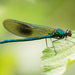 Banded Demoiselle - Photo (c) odonata_10a, some rights reserved (CC BY-NC)
