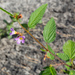 Pyramid Flower - Photo (c) mcwildlife, some rights reserved (CC BY-NC-ND)