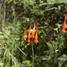 Fuchsia triphylla - Photo (c) scott.zona, alguns direitos reservados (CC BY-NC)