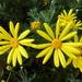 Euryops pectinatus - Photo (c) Murray NZ,  זכויות יוצרים חלקיות (CC BY), uploaded by Murray Dawson