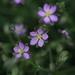 Spergularia rubra - Photo (c) Thorsten Usée, μερικά δικαιώματα διατηρούνται (CC BY-NC)