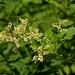 Koenigia phytolaccifolia - Photo (c) Brent Miller, algunos derechos reservados (CC BY-NC-ND)