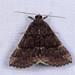 Hypena sordidula - Photo (c) ksandsman,  זכויות יוצרים חלקיות (CC BY)