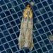 Adelphia petrella - Photo (c) Monica Krancevic, algunos derechos reservados (CC BY-NC)