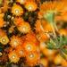 Drosanthemum speciosum - Photo (c) gerhardmalan, algunos derechos reservados (CC BY-NC)