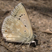 Spanish Chalk-hill Blue - Photo (c) jacinta lluch valero, some rights reserved (CC BY-SA)