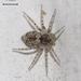 Oecobius maculatus - Photo (c) Massimo Demma, algunos derechos reservados (CC BY-NC)