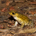 Puerto Rican Crested Toad - Photo (c) Cullen Hanks, some rights reserved (CC BY-NC)