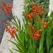 Chasmanthe aethiopica - Photo (c) Communitree, algunos derechos reservados (CC BY-NC)