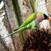 Psittacula - Photo (c) Lip Kee Yap,  זכויות יוצרים חלקיות (CC BY-SA)