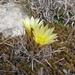 Sclerocactus brevihamatus tobuschii - Photo (c) Eric Keith, algunos derechos reservados (CC BY-NC)