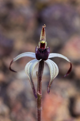 Caladenia drummondii - Photo (c) williamdomenge9, some rights reserved (CC BY-NC)