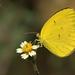 Eurema laeta - Photo (c) Vijay Vanaparthy, osa oikeuksista pidätetään (CC BY-NC)