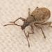 Peritelus sphaeroides - Photo (c) Alexis, algunos derechos reservados (CC BY)