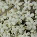 Sambucus nigra - Photo (c) bjoerns,  זכויות יוצרים חלקיות (CC BY-SA)