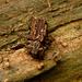 Phellopsis obcordata - Photo (c) kestrel360, algunos derechos reservados (CC BY-NC-ND)
