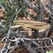 Masticophis taeniatus taeniatus - Photo (c) Marcus Muench, algunos derechos reservados (CC BY-NC)