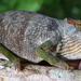 Magombera Chameleon - Photo (c) Andrew R Marshall, some rights reserved (CC BY)
