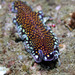 Linda's Flatworm - Photo (c) Tony Strazzari, some rights reserved (CC BY-NC)