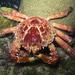 Mithrax spinosissimus - Photo (c) Callie,  זכויות יוצרים חלקיות (CC BY-NC)