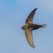 Common Swift - Photo (c) Alexei Ebel, some rights reserved (CC BY-NC)