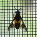 Chrysops viduatus - Photo (c) Dimitǎr Boevski, algunos derechos reservados (CC BY-SA)