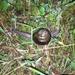 Satsuma arisana - Photo (c) 戴儀,  זכויות יוצרים חלקיות (CC BY-NC)