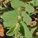Euphorbia stictospora stictospora - Photo (c) ellen hildebrandt, some rights reserved (CC BY-NC)