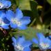 Nemophila menziesii - Photo (c) Tom Hilton, μερικά δικαιώματα διατηρούνται (CC BY), uploaded by tomhilton