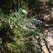Polygala tenuifolia - Photo (c) qianli_feng, algunos derechos reservados (CC BY-NC)