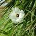Hibiscus dasycalyx - Photo (c) Laura Clark, algunos derechos reservados (CC BY)