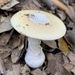 Jewelled Amanita - Photo (c) Benjamin Langlois, some rights reserved (CC BY-NC)