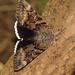 Catocala epione - Photo (c) Bill Carrell, algunos derechos reservados (CC BY-NC-ND)
