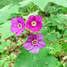Purple-flowered Raspberry - Photo (c) Tyler Christensen, some rights reserved (CC BY-NC)