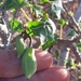 Chilean Papaya - Photo (c) mildred_ehrenfeld, some rights reserved (CC BY-NC)
